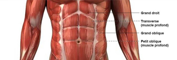 muscles abdominaux